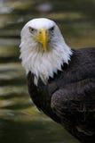 Bald eagle, haliaeetus leucocephalus Stock Photography