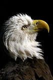Bald eagle, haliaeetus leucocephalus Royalty Free Stock Photos
