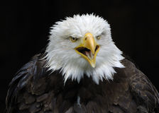 Bald eagle - Haliaeetus leucocephalus Royalty Free Stock Image