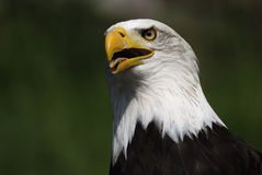Bald eagle - Haliaeetus leucocephalus Royalty Free Stock Photography