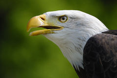 Bald eagle - Haliaeetus leucocephalus Royalty Free Stock Images