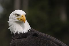 Bald Eagle ( Haliaeetus leucocephalus ) Royalty Free Stock Image