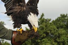 Bald Eagle (Haliaeetus leucocephalus). Bald eagle is eating meat on hand of a falconer royalty free stock photography