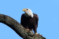 Bald Eagle (haliaeetus leucocephalus) Stock Image