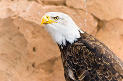 Bald eagle (Haliaeetus leucocephalus). Evil look of a bald eagle Stock Photography