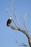 Bald Eagle, Haliaeetus leucocephalus. Bald Eagle wintering in Bosque del Apache National Wildlife Refuge in New Mexico stock images