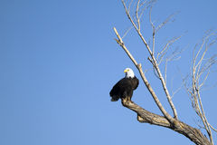 Bald Eagle, Haliaeetus leucocephalus Stock Images
