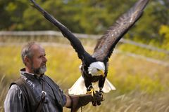 Bald Eagle (Haliaeetus leucocephalus) Royalty Free Stock Photography