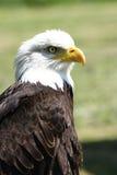 Bald Eagle  (Haliaeetus leucocephalus). Detailed view of a bald eagle (Haliaeetus leucocephalus Royalty Free Stock Image