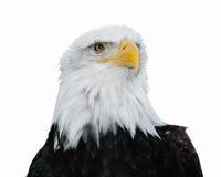 Bald Eagle (Haliaeetus leucocephalus). Isolated on neutral background royalty free stock photos