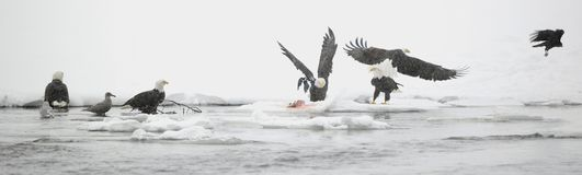 Bald eagle (Haliaeetus leucocephalus), Stock Images