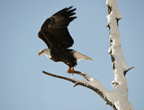 A bald eagle (Haliaeetus leucocephalus). Is perched on a dead tree limb overlooking the Chilkat River watching for salmon in the Chilkat Bald Eagle Preserve in Royalty Free Stock Image
