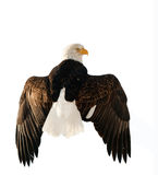 A bald eagle (Haliaeetus leucocephalus) Royalty Free Stock Photos