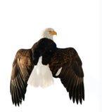 A bald eagle (Haliaeetus leucocephalus). Isolated on white.  Alaska. Winter. Morning Royalty Free Stock Photos