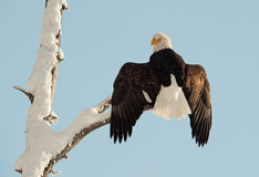 A bald eagle (Haliaeetus leucocephalus) Stock Images