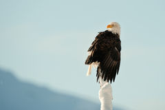The Bald Eagle (Haliaeetus leucocephalus). BALD EAGLE ( Haliaeetus leucocephalus ) perched on tree. Chilkat River Alaska USA America stock photography