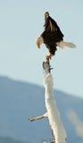 The Bald Eagle (Haliaeetus leucocephalus). BALD EAGLE ( Haliaeetus leucocephalus )   perched on tree. Chilkat River Alaska USA America Royalty Free Stock Image