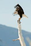 The Bald Eagle (Haliaeetus leucocephalus). BALD EAGLE ( Haliaeetus leucocephalus )   perched on tree. Chilkat River Alaska USA America Royalty Free Stock Photo
