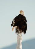 The Bald Eagle (Haliaeetus leucocephalus). BALD EAGLE ( Haliaeetus leucocephalus )   perched on tree. Chilkat River Alaska USA America Stock Photos