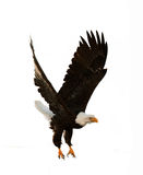 The Bald Eagle (Haliaeetus leucocephalus) Stock Photo