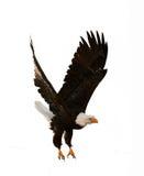 The Bald Eagle (Haliaeetus leucocephalus). BALD EAGLE ( Haliaeetus leucocephalus )  isolated on the  white. Against a white background Stock Photo