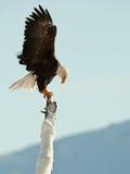 The Bald Eagle (Haliaeetus leucocephalus). BALD EAGLE ( Haliaeetus leucocephalus )   perched on tree. Chilkat River Alaska USA America Royalty Free Stock Photography