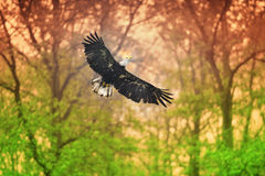 Bald Eagle (Haliaeetus leucocephalus). Bald eagle flying free, wings spread Royalty Free Stock Image