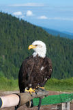 Bald Eagle (Haliaeetus leucocephalus). Stock Photos