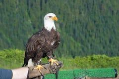 Bald Eagle (Haliaeetus leucocephalus). Stock Image
