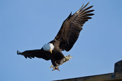 Bald Eagle (Haliaeetus leucocephalus). Is landing with his catch of a day Stock Photos
