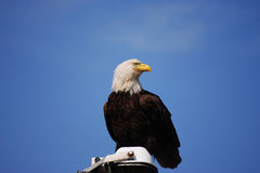 Bald Eagle:Haliaeetus leucocephalus. Bald Eagle perched against a blue sky stock photo