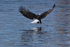 Bald Eagle (Haliaeetus leucocephalus) Stock Photography