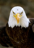 Bald eagle haliaeetus leucocephalus Royalty Free Stock Photo