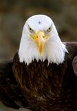 Bald eagle haliaeetus leucocephalus royalty free stock photo