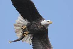 Bald Eagle (haliaeetus leucocephalus) Royalty Free Stock Photography