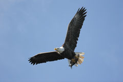 Bald Eagle (haliaeetus leucocephalus) Stock Photo