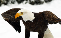 Bald Eagle (Haliaeetus leucocephalus). A Bald Eagle (Haliaeetus leucocephalus) deploying its wings Stock Photos