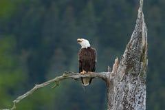 Bald eagle, haliaeetus leucocephalus, Alaska. Summer,eagle on the lookout. Nesting time. adult bird Stock Images