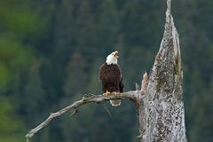 Bald eagle, haliaeetus leucocephalus, Alaska. Summer,eagle on the lookout. Nesting time. adult bird stock image