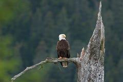 Bald eagle, haliaeetus leucocephalus, Alaska. Summer,eagle on the lookout. Nesting time. adult bird Stock Photo