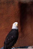 Bald eagle Haliaeetus leucocephalus. Perches on a branch in its enclosure as it recovers from injury stock photography