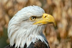 Bald Eagle Haliaeetus leucocephalus Stock Images