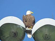 Bald Eagle Haliaeetus leucocephalus. Bald Eagle perched on top of lights on a baseball field royalty free stock photography