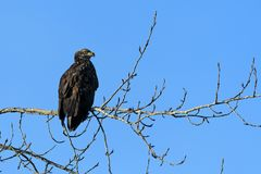Bald Eagle Haliaeetus leucocephalus in British Columbia, Canad. Bald Eagle Haliaeetus leucocephalus in Harrison-Chehalis Flats, Fraser Valley, Canada Stock Image