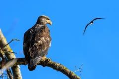 Bald Eagle (Haliaeetus leucocephalus) in British Columbia, Canad Stock Photos