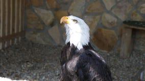 Bald Eagle haliaeetus leucocephalus stock footage