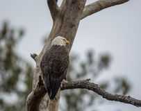 Bald eagle, Haliaeetus leucocephalus, watching from a tree. stock images