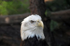 Bald Eagle Haliaeetus Leucocephalus close up. American Bald Eagle close up Stock Images