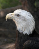 Bald Eagle Haliaeetus Leucocephalus close up. American Bald Eagle close up Stock Photo