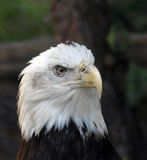 Bald Eagle Haliaeetus Leucocephalus close up. American Bald Eagle close up Stock Image